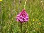 Pyrimidal Orchid