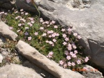 Seaside Centaury