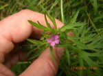 Split Leaved Crane's Bill