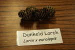 Dunkeld Larch