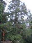 Japanese Red Cedar (2).jpg