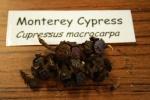 Monterey Cypress