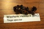 Western Hemlock