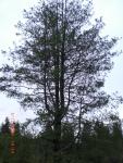 Western Himalayan Pine