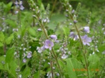 Heath Speedwell