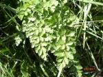 Hemlock Water Dropwort