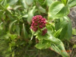 Red Vervain