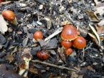 Redlead roundhead (Leratiomyces ceres)