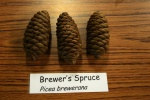Brewers Spruce