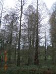 Swamp Cypress & Dawn Redwood