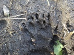 Badger print in sand