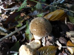 Spiney puffball (Lycoperdon echinatum)