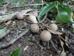 Stump puffballs (Apioperdon pyriforme)