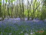 Bluebells in the spring