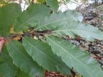 Sweet Chestnut leaf