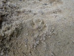 Badger print in sand trap