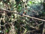 Hawthorn bud