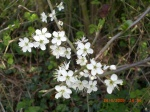 Blackthorn flower