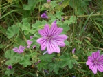 Common Mallow