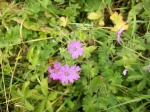 Dove's Foot Crane's Bill